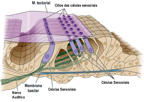 Esquema: Coclea